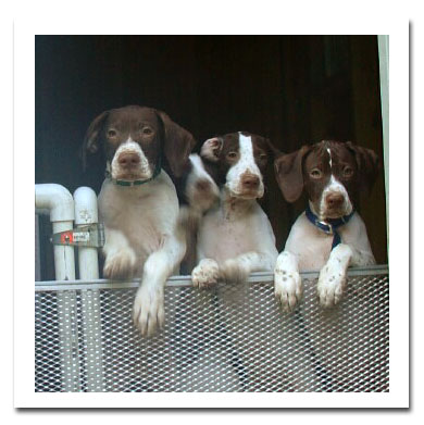 Liver and white Pointer pups
